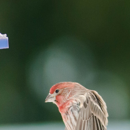 House Finch, Nikon D300S, AF Zoom-Nikkor 80-200mm f/2.8 ED