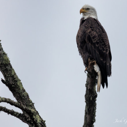 Bald Eagle, Canon EOS 5DS, 150-600mm F5-6.3 DG OS HSM | Sports 014