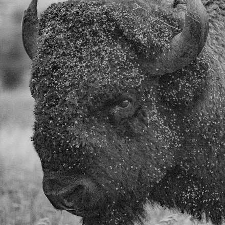 Bison Stare, Canon EOS REBEL T3I, Canon EF-S 55-250mm f/4-5.6 IS II