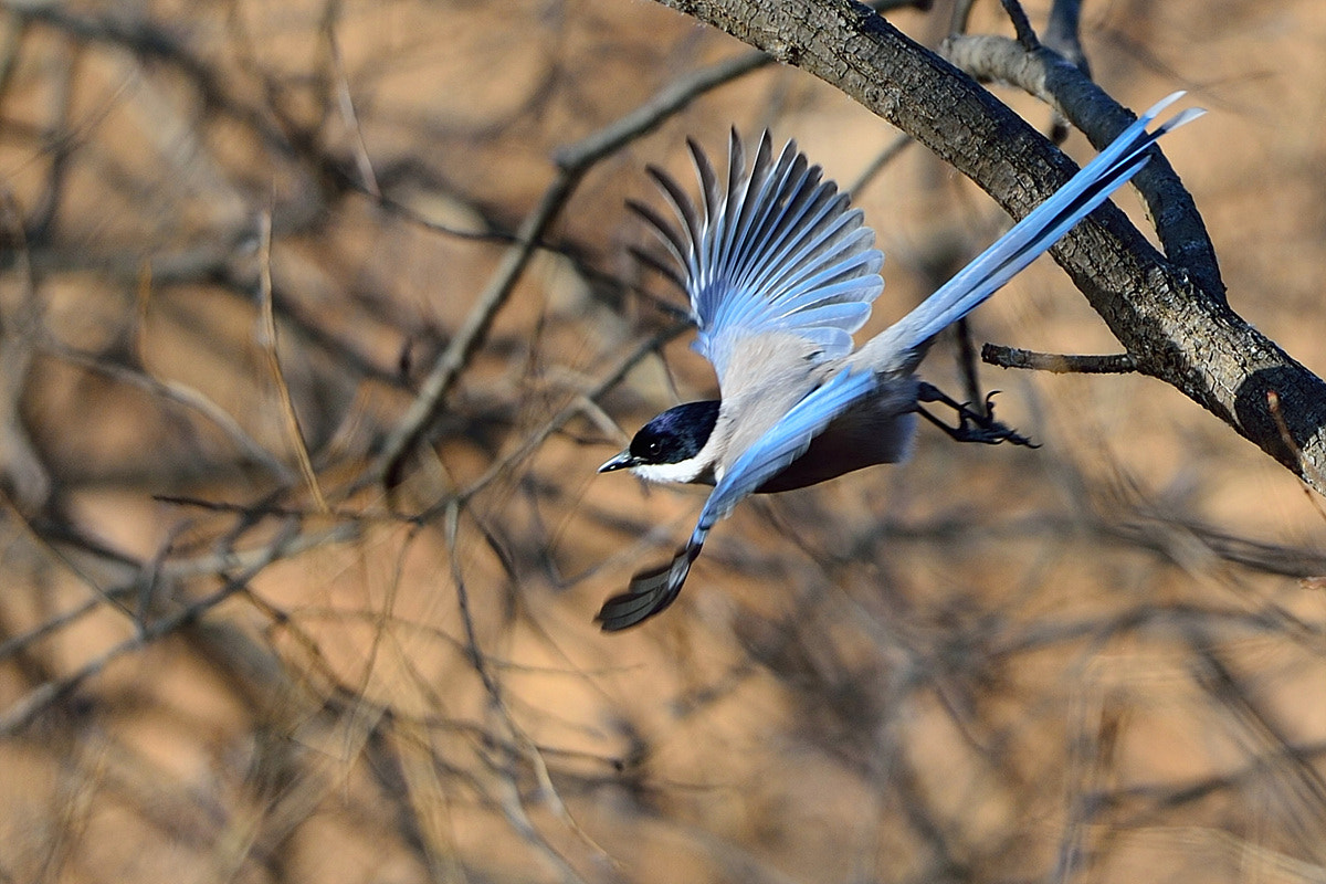 Photograph Azure-winged Magpie by Young Sung Bae on 500px