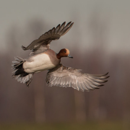 Eurasian Wigeon cleared to, Canon EOS 70D, Canon EF 300mm f/2.8L IS II USM