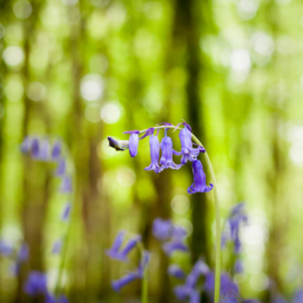 Bluebells, Canon EOS 5D MARK II, Canon EF 40mm f/2.8 STM