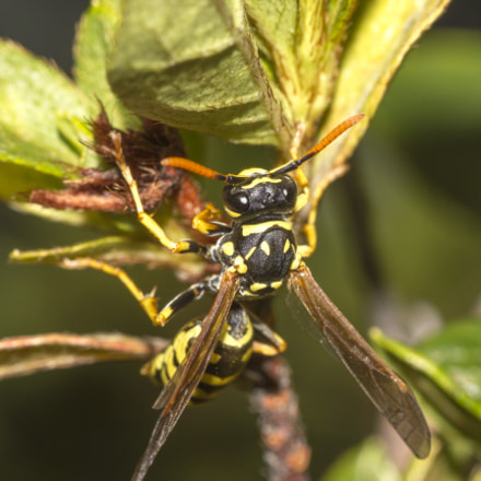 Wasp, Canon EOS 550D, Tamron 90mm f/2.8