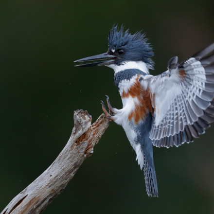 Kingfisher, Canon EOS-1D X MARK II, Canon EF 600mm f/4.0L IS II USM + 1.4x