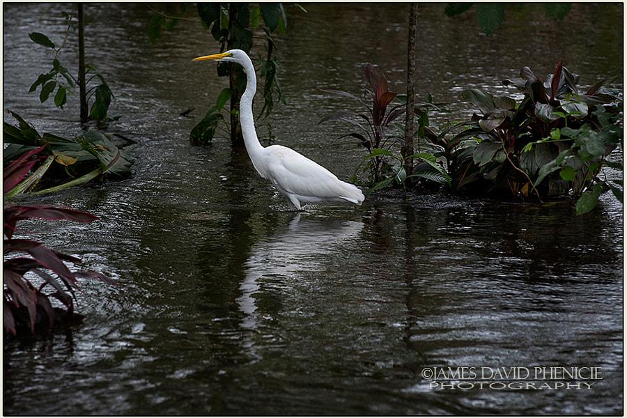 Wading Great Egret
