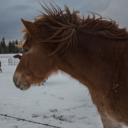 Horse in the wind, Canon EOS REBEL T5I, Canon EF-S 18-55mm f/3.5-5.6 IS STM
