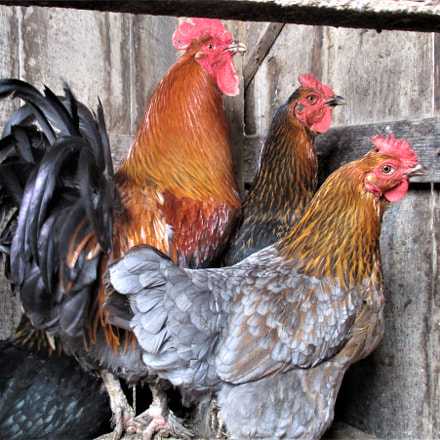 Rooster and Hens, Canon POWERSHOT ELPH 160