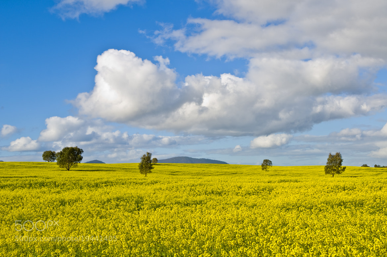 Photograph Sun Flower Field in regional victoria by Joel Strickland on 500px