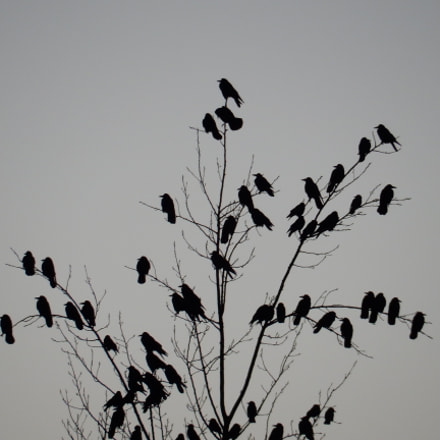 a group of crows, Nikon COOLPIX S9700