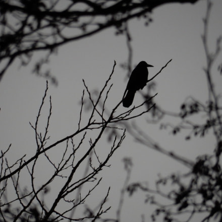 the lonely crow, Nikon COOLPIX S9700