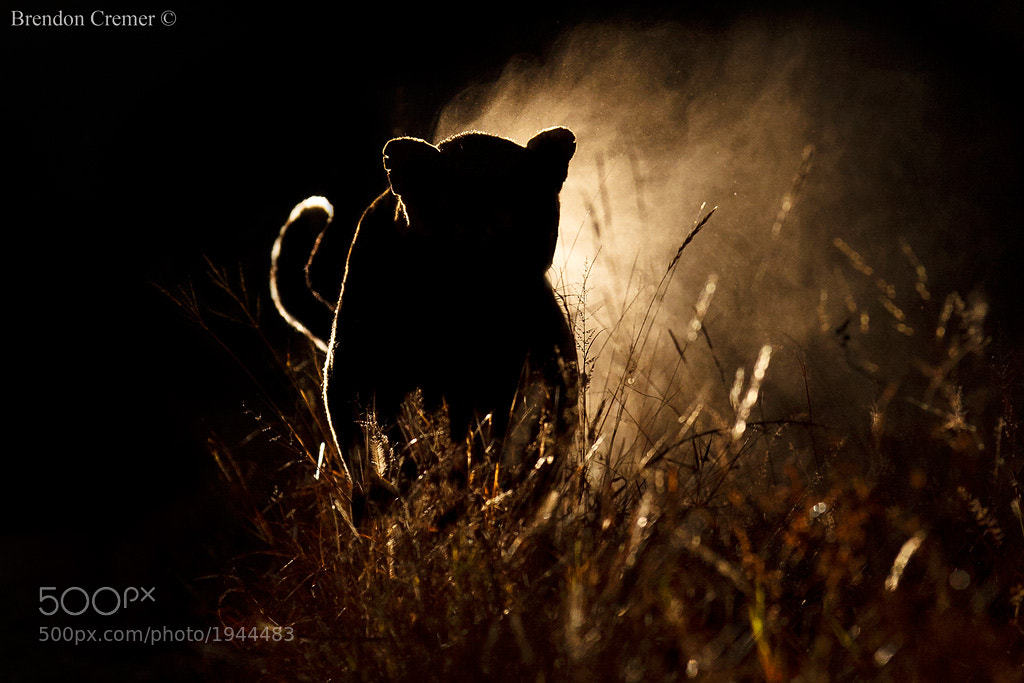 Photograph Leopard in the Darkness by Brendon Cremer on 500px