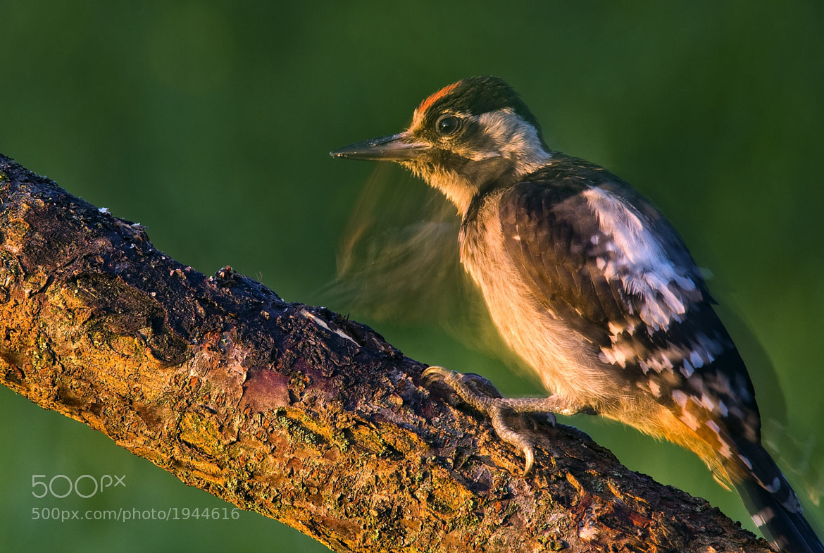 Photograph Balkan woodpecker by Tibor Jakab on 500px