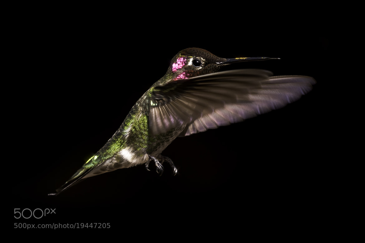 Photograph Anna's Hummingbird by Kajo  on 500px