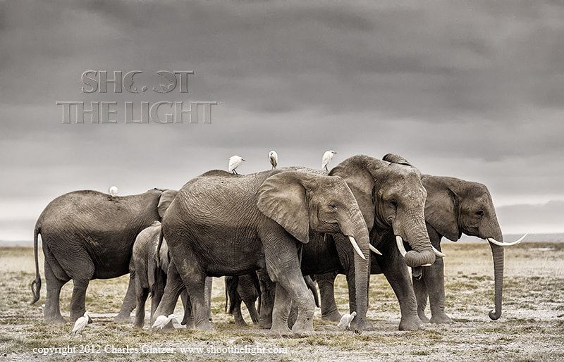 Photograph Elephants with egrets by Charles Glatzer on 500px