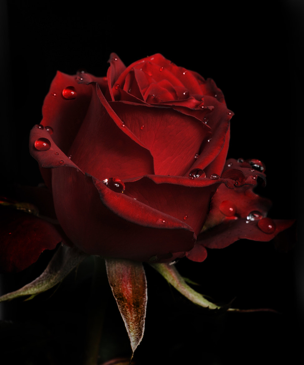 Photograph Red Rose with raindrops by Cristobal Garciaferro Rubio on 500px