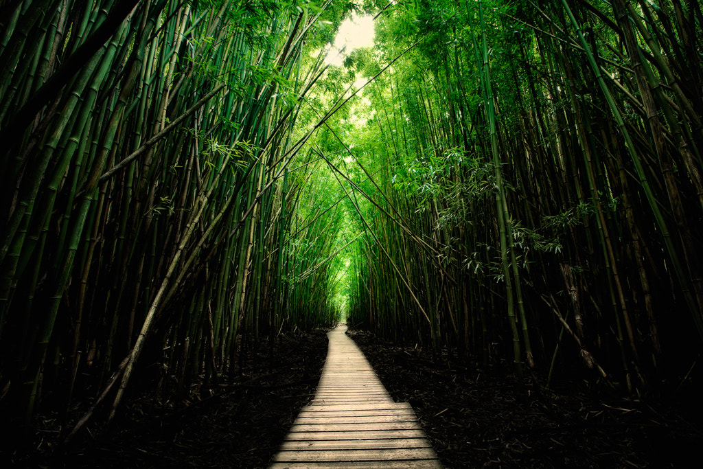 Photograph Bamboo Forest by Shahriar Erfanian on 500px