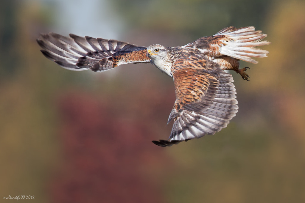 Photograph Ferruginous Hawk in Fall Colors by Phoo (mallardg500) Chan on 500px