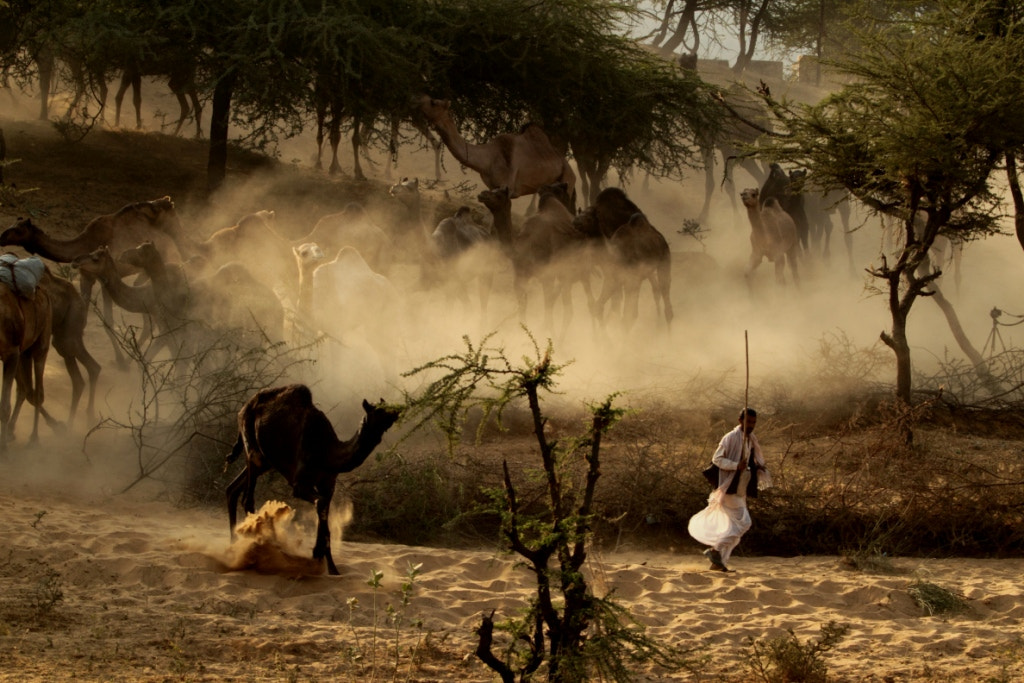 Photograph Camels by udhay krishnamurthy on 500px
