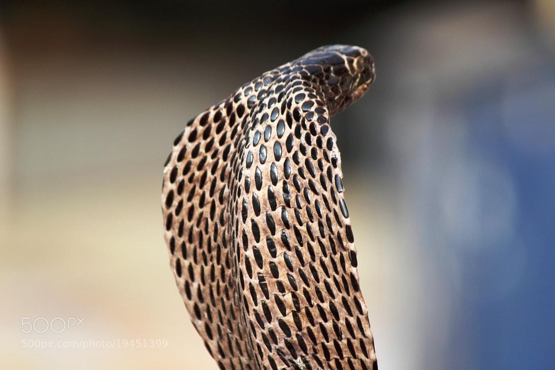 Photograph Rajasthan Cobra by udhay krishnamurthy on 500px