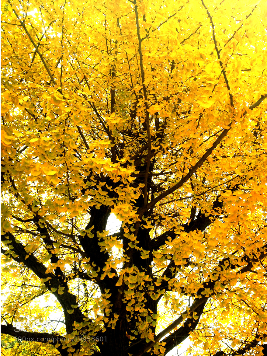 Photograph golden tree by Shingo .N on 500px