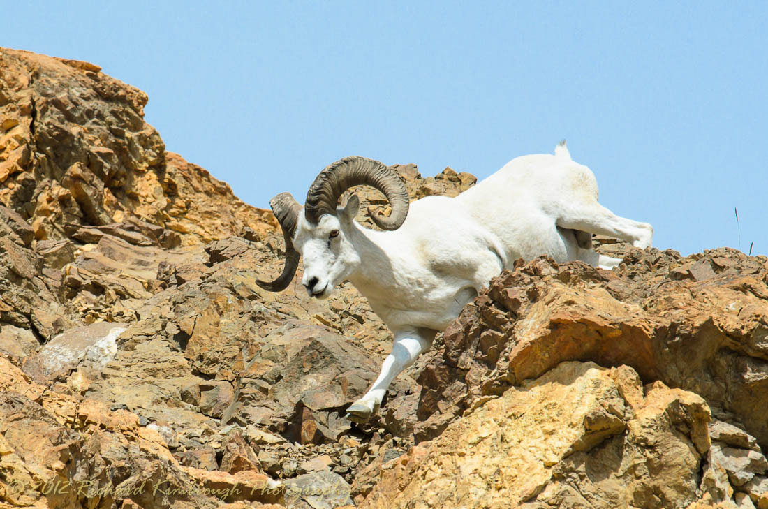 Photograph Dall Sheep Descinding by Richard Kimbrough on 500px