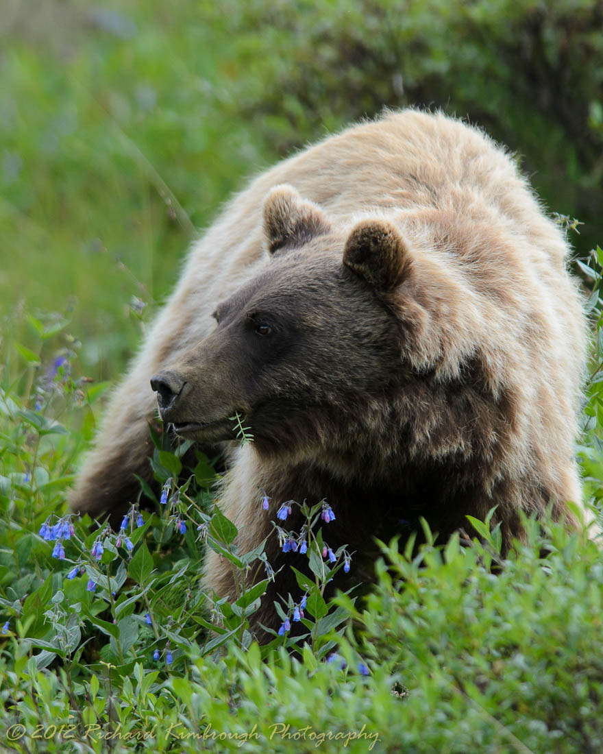 Photograph A Brown Bear Stops to Eat the Flowers by Richard Kimbrough on 500px