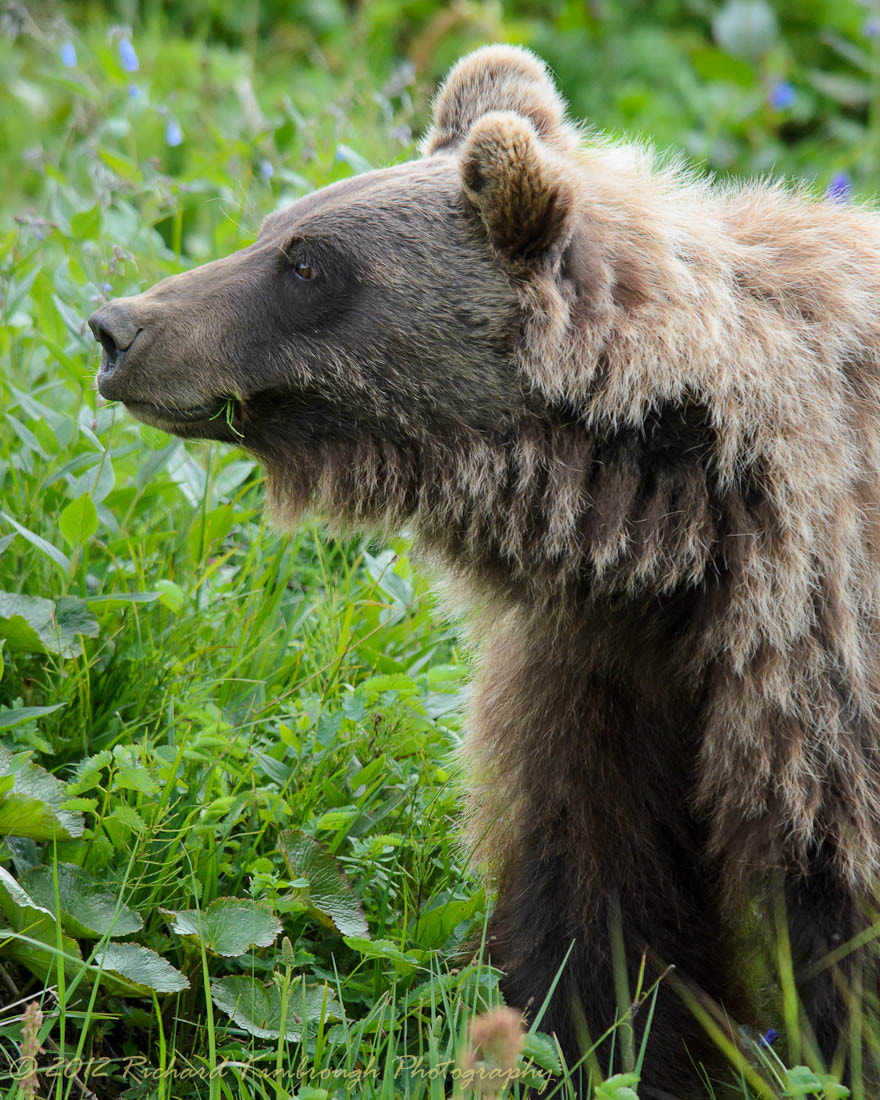 Photograph Big Brown Bear Eating  by Richard Kimbrough on 500px