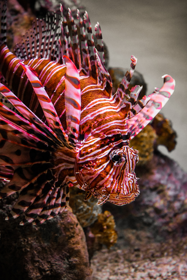 Photograph lionfish by Marlon Jay Manuel on 500px