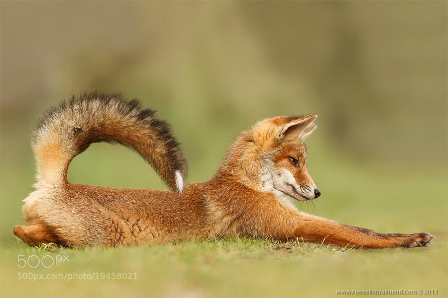 Photograph StretchFox by Roeselien Raimond on 500px