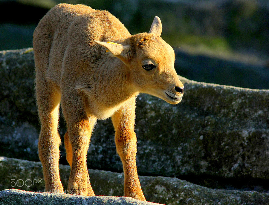 Photograph Young and lovely Barbary sheep [Ammotragus lervia] by Rainer Leiss on 500px