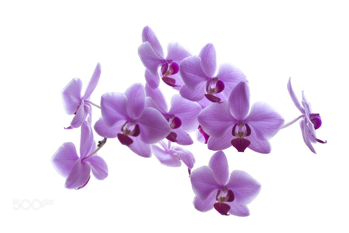 Photograph Orchids by Mitt Nathwani on 500px