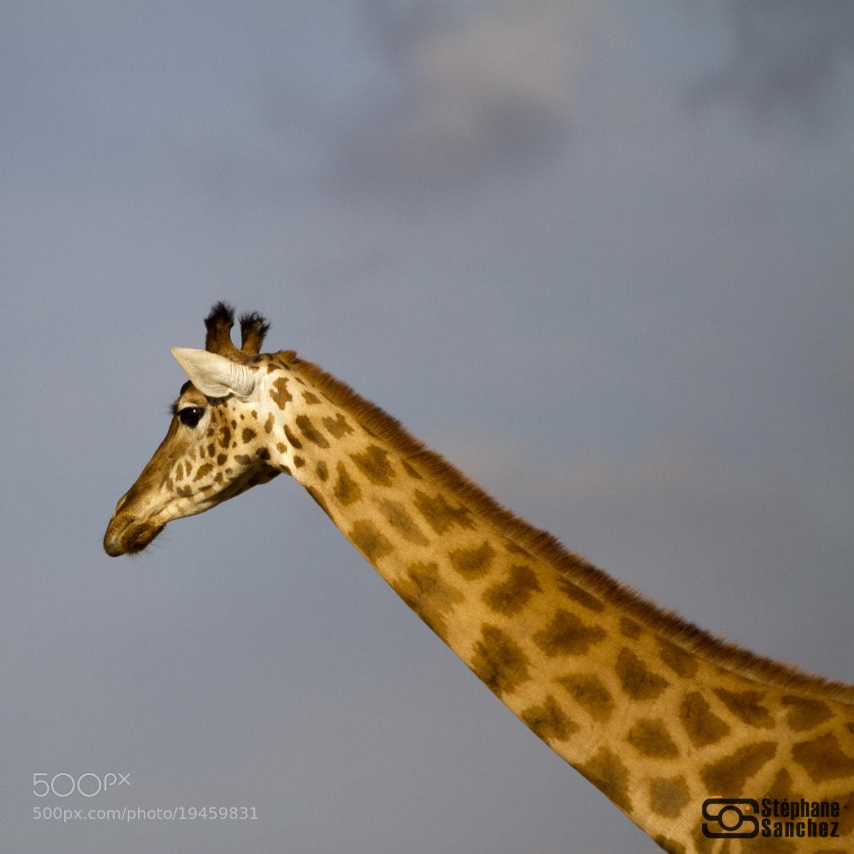 Photograph Girafe by Stephane Sanchez on 500px