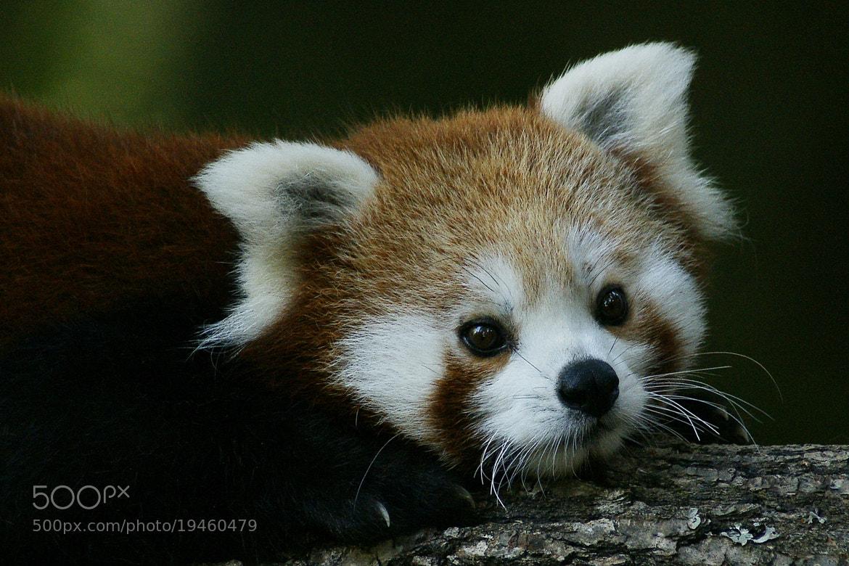 Photograph Red panda by Branko Frelih on 500px