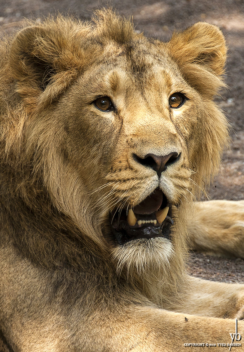 Photograph Lion Portrait by y b on 500px