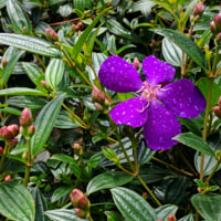 Mua Flower