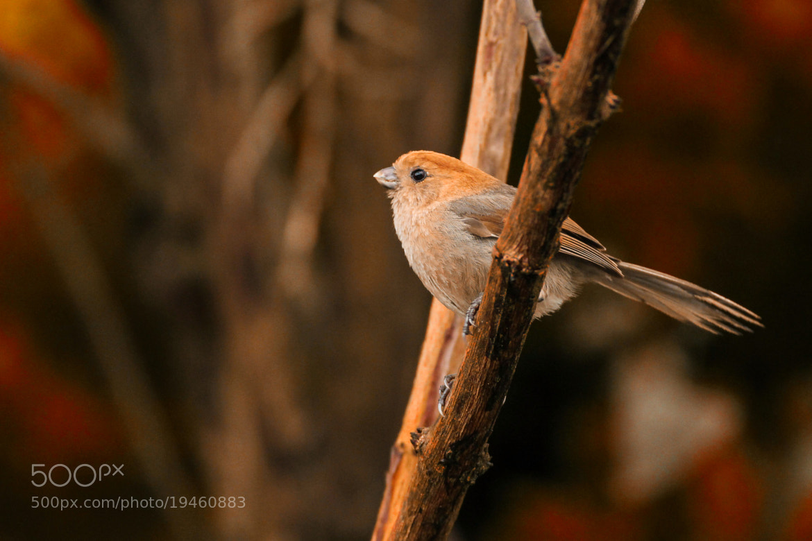 Photograph Vinous-throated Parrotbill by Boris Smokrovic on 500px