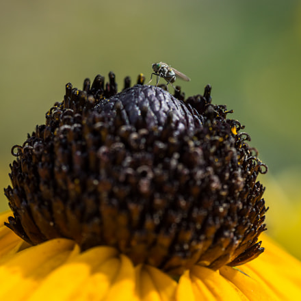 Black Eyed Susan and, Sony SLT-A77V, Tamron AF 55-200mm F4-5.6 Di II LD Macro