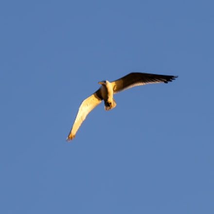 Seagull in the blue, Canon EOS 500D, Canon EF 70-300mm f/4-5.6 IS USM