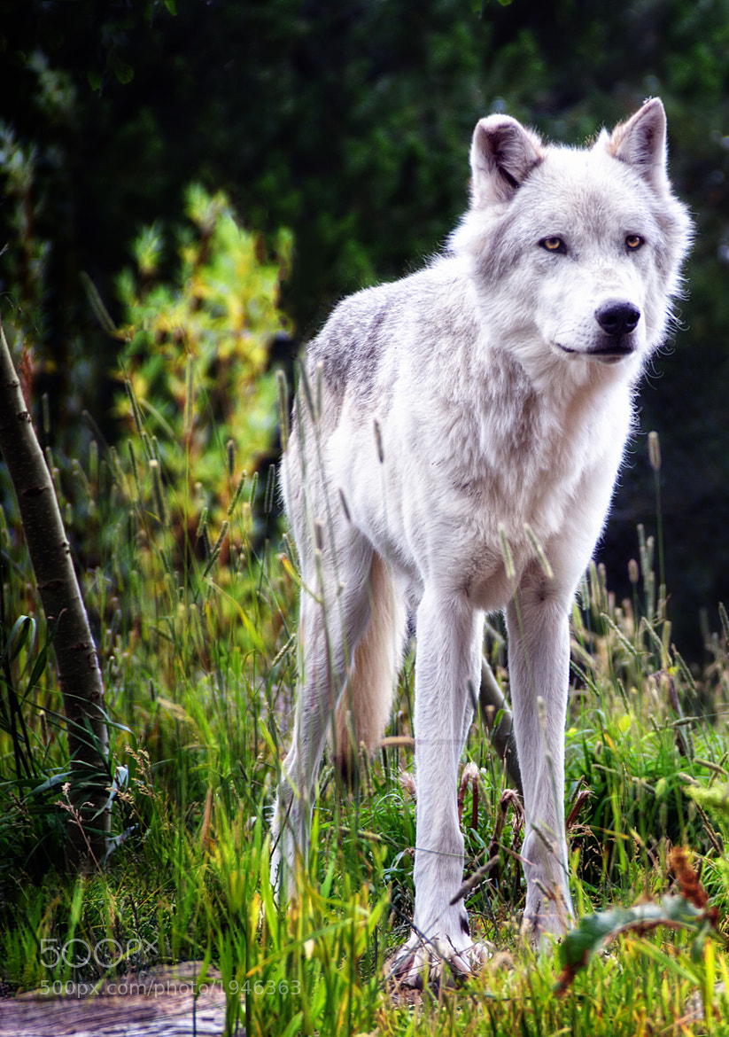 Photograph Yellowstone Wolf by Ian McConnell on 500px
