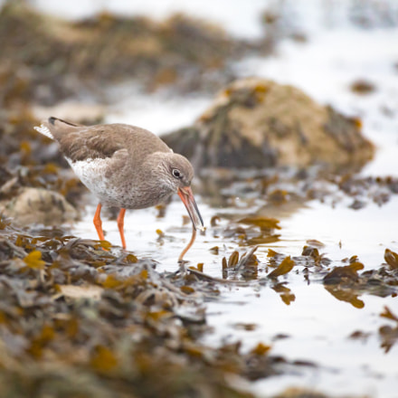 Redshank, Canon EOS 5D MARK IV, Canon EF 500mm f/4L IS