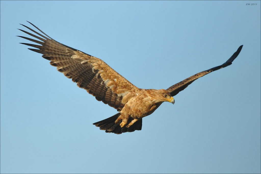 Photograph Tawny Eagle by Elmar Weiss on 500px