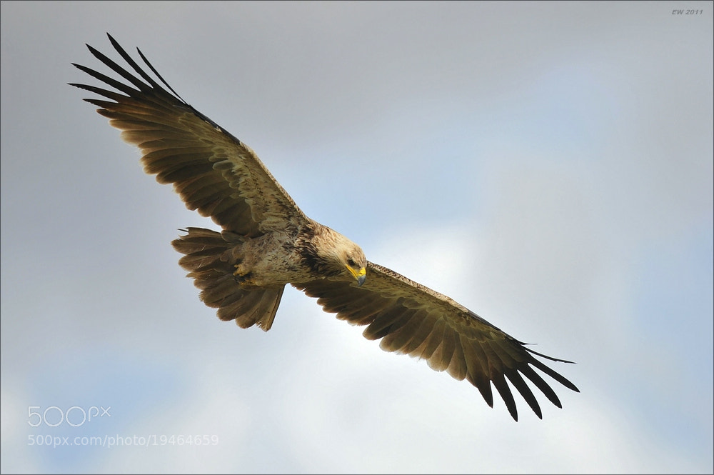 Photograph Another tawny eagle by Elmar Weiss on 500px