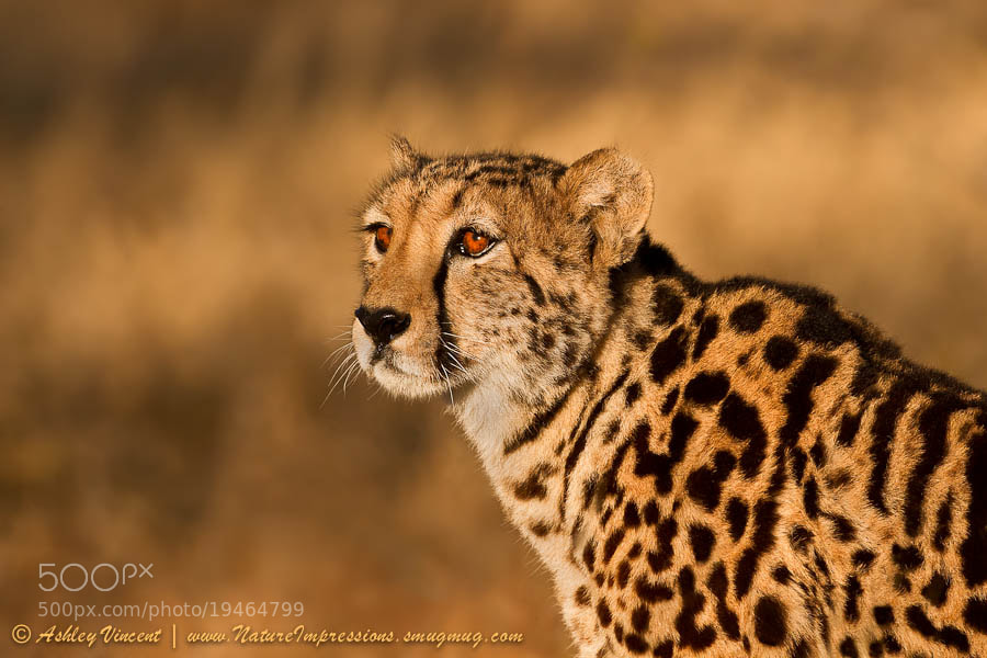 Photograph South African Queen by Ashley Vincent on 500px