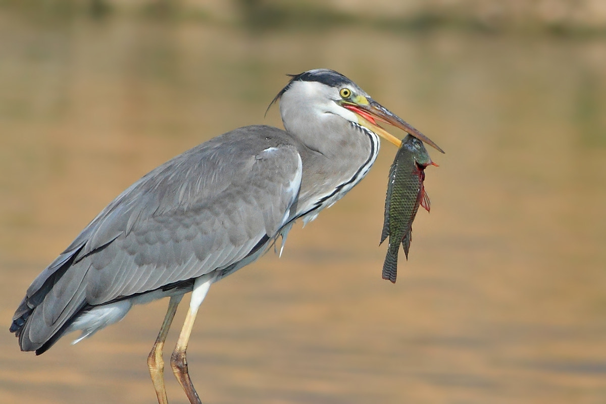 Photograph Heron's lucky day by Yuri Gomelsky on 500px