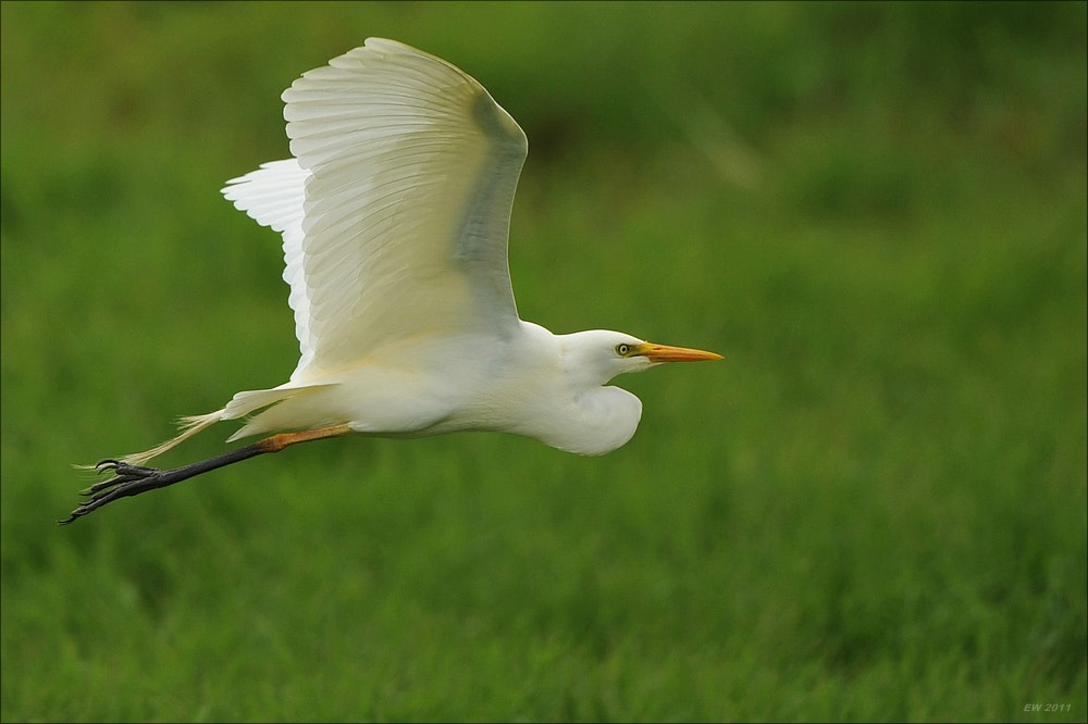 Photograph Cattle Egret by Elmar Weiss on 500px