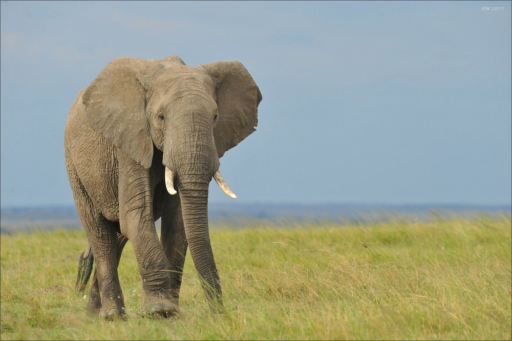 Photograph Just an elephant by Elmar Weiss on 500px
