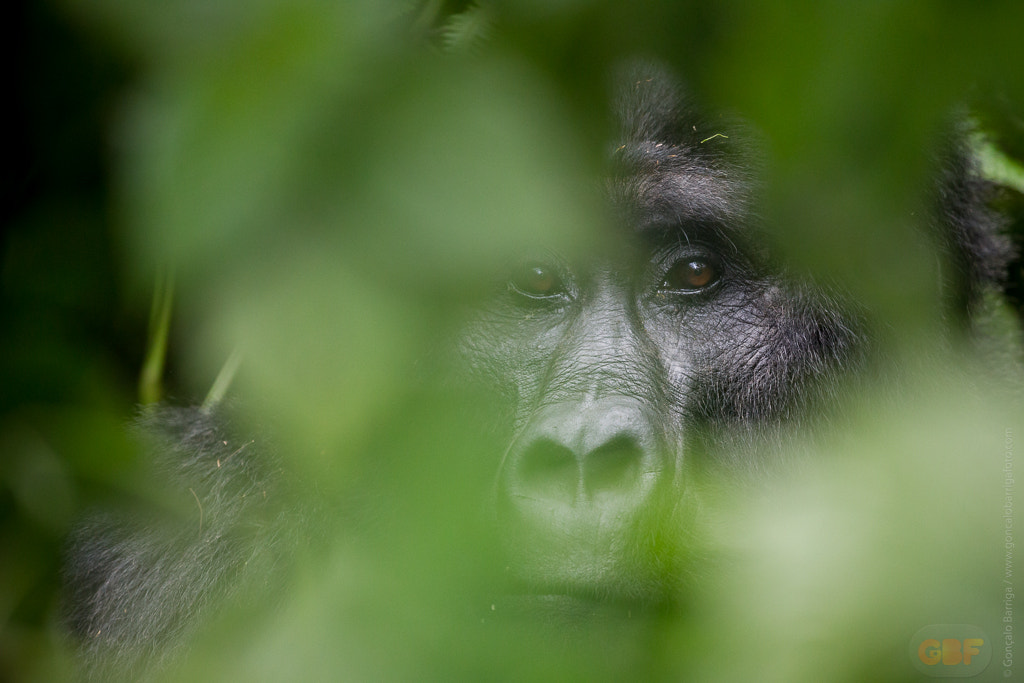 Photograph Mountain Gorilla by Gonçalo Barriga on 500px