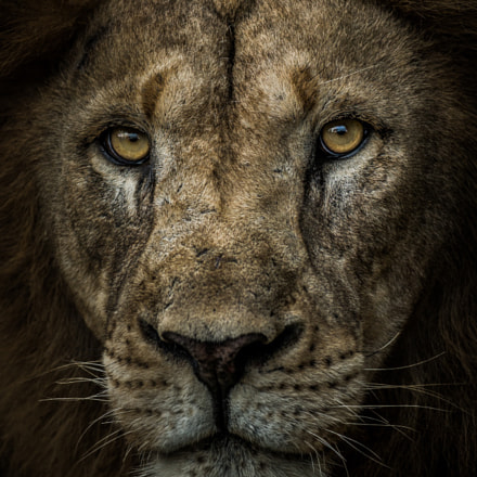 Stare into my eyes..., Canon EOS-1D X, Canon EF 200-400mm f/4L IS USM + 1.4x