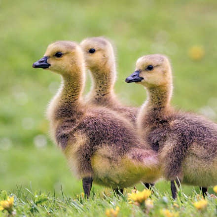 Canada goslings, Canon EOS-1D X, Canon EF 300mm f/2.8L IS II USM