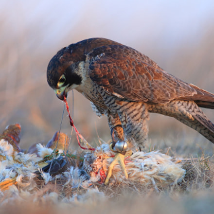 Hunting ended successfully, Canon EOS 6D, EF400mm f/5.6L USM